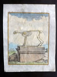 Buffon First Edition C1770 Antique Hand Col Print. Skeleton of Lynx 9-23